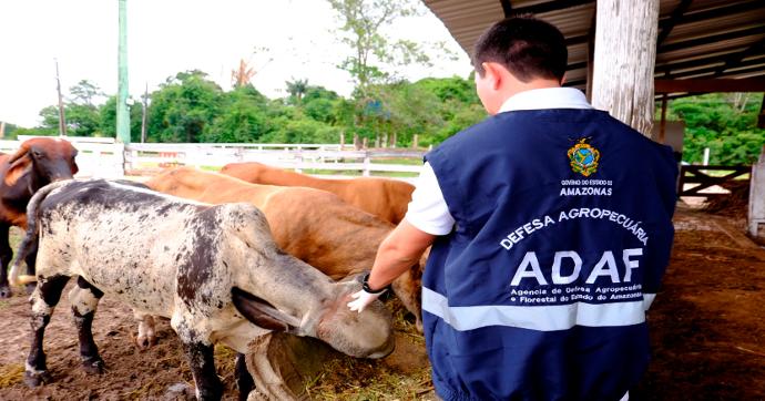 Vacinação contra a febre aftosa inicia em 41 municípios do Amazonas